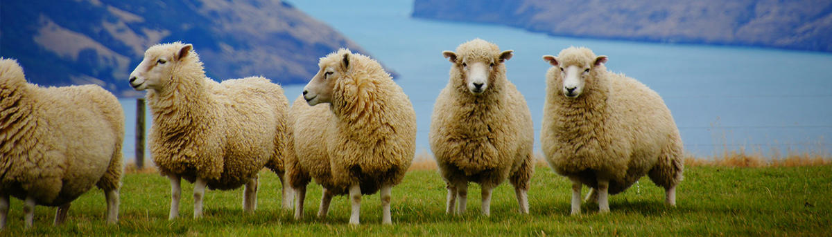 Five sheep standing in a paddock