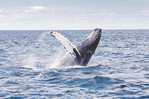 Whale doing backflip in the ocean